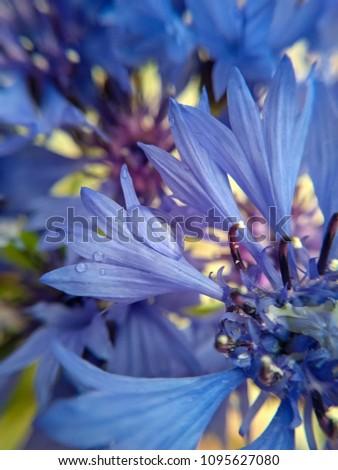 tender flower cornflower. A drop of water on a petal close up.  spring bouquet of cornflowers. Pistils and stamens of a tender cornflower close-up. Bright blue bouquet of cornflowers #1095627080