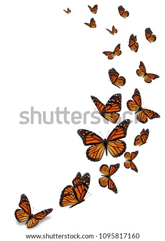 Beautiful monarch butterfly isolated on white background. #1095817160