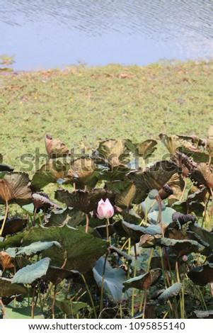 lotus   pond    park #1095855140