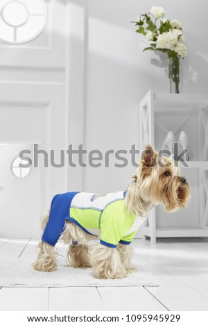 Full length portrait of dressed Yorkie in the white room. Side view of the dog in a rash guard. The pet standing on the floor on the rug in the hallway, looking straight ahead, ready to go out. #1095945929