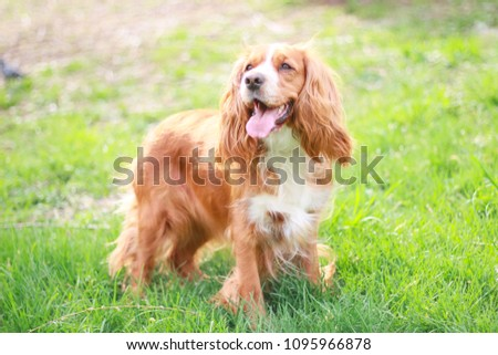 cocker spaniel in a summer park #1095966878