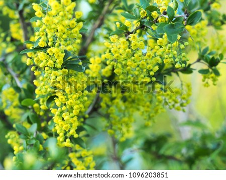 Green leaves and yellow flowers of Mahonia Aquifolium, close-up. Flowering plant, family Berberidaceae. Yellow spring floral background #1096203851