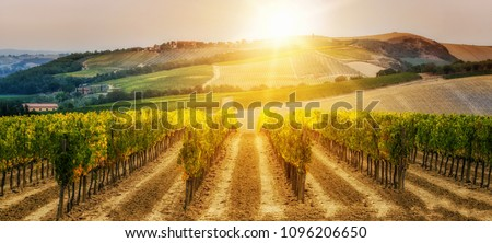 Vineyard landscape in wine land country of Tuscany, Italy at sunset. Tuscany vineyards are home to the most notable wine of Italy. There are several famous red wine and white wine from these winery . #1096206650