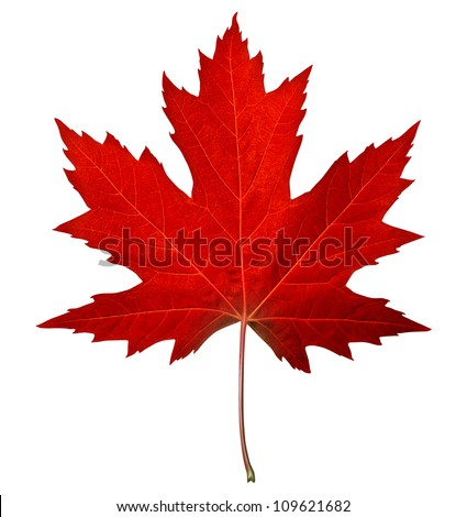 Red maple leaf as an autumn symbol as a seasonal themed concept as an icon of the fall weather on an isolated white background. Royalty-Free Stock Photo #109621682