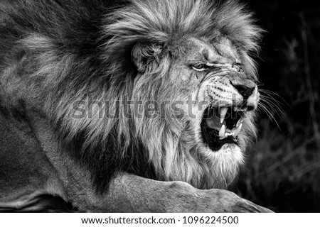 Magnificent intimidating and aggressive  wild African adult male lion. Close up portrait in black and white. National Park South Africa #1096224500