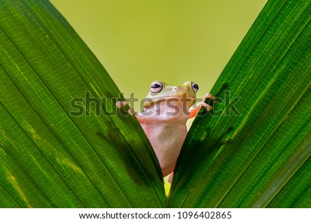 Dumpy Frog On Leaves, Frog, Amphibian, Reptile Royalty-Free Stock Photo #1096402865