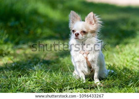 puppy Chihuahua sitting on the green grass #1096433267