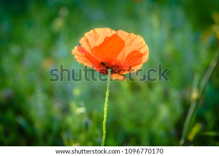 Single red poppy flower (isolated). #1096770170