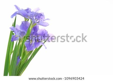 iris in a white background #1096903424