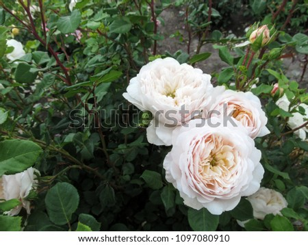 Elegant inflorescence of pale beige roses on a dark green background. Three white with cream tint rose flowers close-up on a contrasting foliage background it is beautiful floral template for design  #1097080910