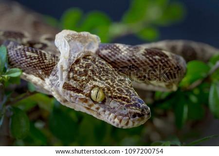 Amazon tree Boa Snake Shedding it's Skin #1097200754