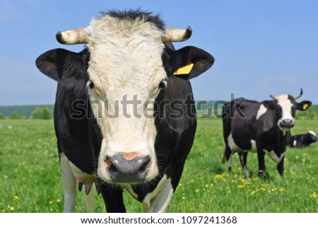 Cows  on a summer pasture #1097241368