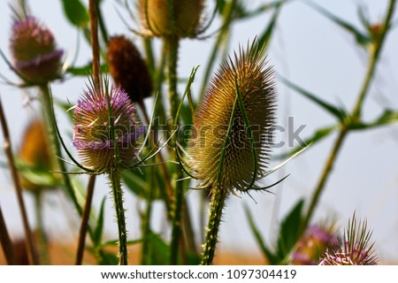 Close-up of wild teasel (dipsacus fullonum) on the late summer field. Macro photography of nature. #1097304419