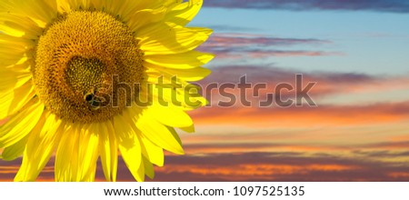 Sunflower is a sunny flower. a tall North American plant of the daisy family, with very large golden-rayed flowers. Sunflowers are cultivated for their edible seeds,  Royalty-Free Stock Photo #1097525135