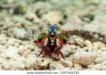 Peacock mantis shrimp, harlequin mantis shrimp, painted mantis shrimp, or clown mantis shrimp, Odontodactylus scyllarus #1097666330