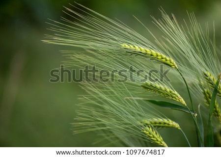 Barley grain is used for flour, barley bread, barley beer, some whiskeys, some vodkas, and animal fodder. #1097674817