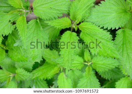 Nettle in the forest, Bavaria, Germany #1097691572