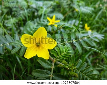 Yellow grass flower on green grass #1097807504