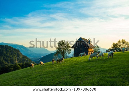 Salzburg, Heuberg, herd of sheep on meadow, mountains in the background #1097886698