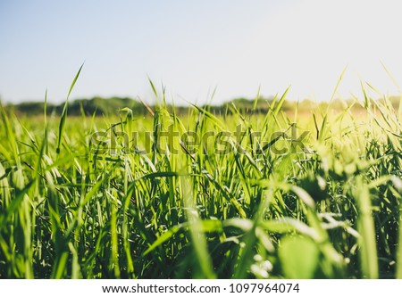 Tall green grass in the field. Summer spring meadow landscape on a sunny day. Nature eco friendly photo. Wallpaper with the blue sky. Royalty-Free Stock Photo #1097964074