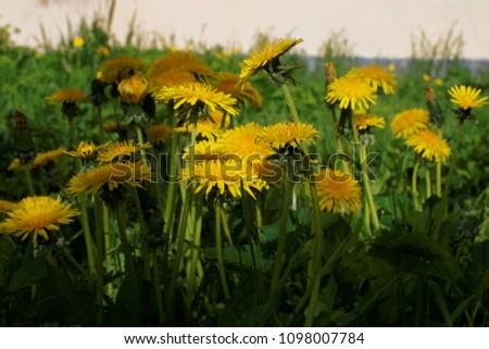 dandelions on a green background #1098007784