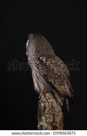 Great Grey Owl - against black background #1098063875