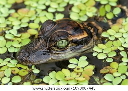 Baby American Alligator in Duckweed Swamp #1098087443