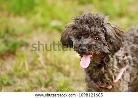 Close up picture of black poodle puppy with curly hair with his pink tongue out, blurry brown and green background, copy space