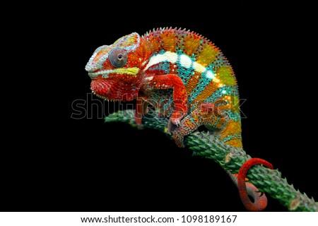 Chameleon with black backround, beautiful of chameleon, chameleon  branch, chameleon panther #1098189167