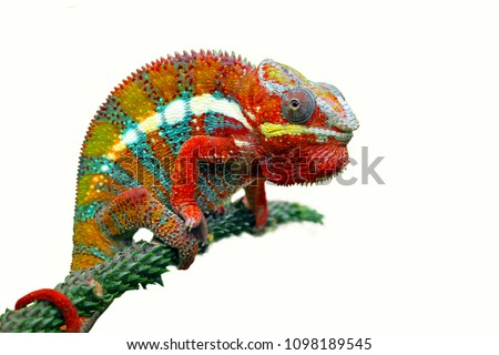 Chameleon with white backround, beautiful of chameleon, chameleon  branch, chameleon panther #1098189545