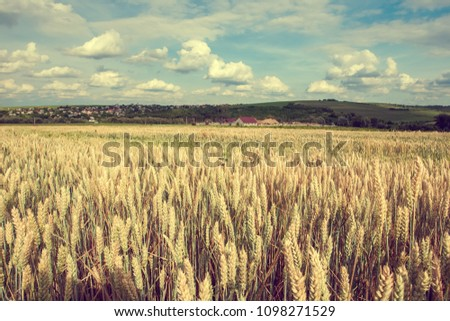 Summer landscape with wheat field. Gold wheat field. Toned. #1098271529