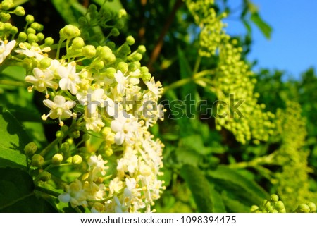 Sunlit elderflower bush #1098394475