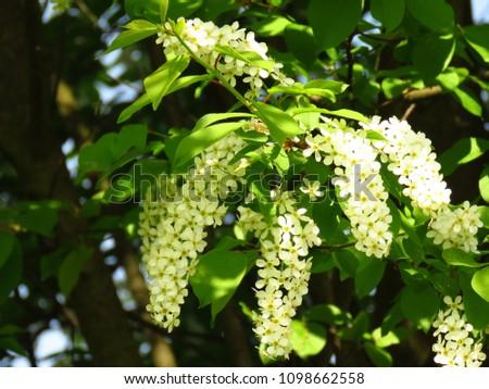 flowers of wild cherry, Prunus serotina, #1098662558