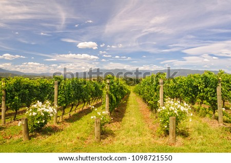 Rows of vines in a Yarra Valley vineyard - Yarra Glen, Victoria, Australia #1098721550