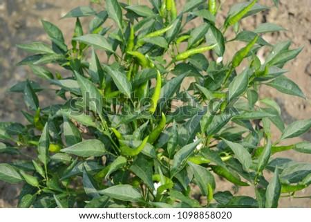 Green hot guinea pepper on tree. #1098858020
