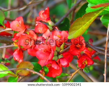 flowers of japan quince #1099002341