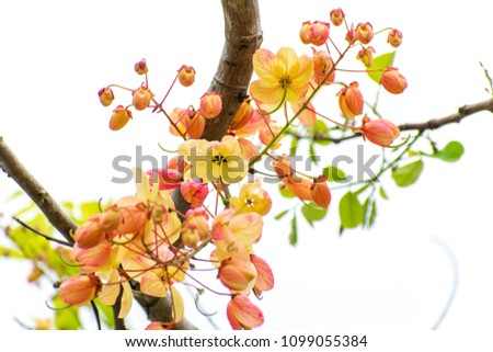 Cassia fistula/ Cassia bakeriana (or) Cassia fistula/Cassia javanica (Rainbow shower tree). Hybrid tropical flowers #1099055384