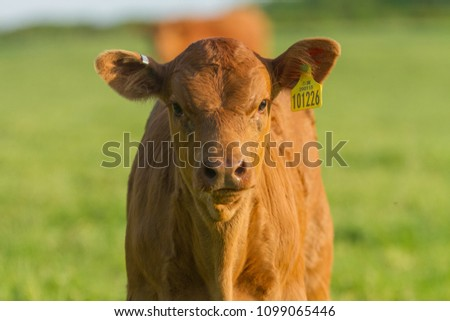 Young Brown Calf isolated  #1099065446