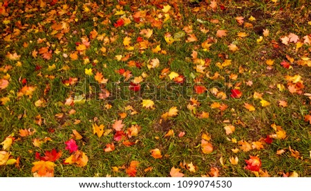 maple leaves on the grass #1099074530