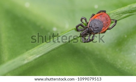 Deer tick sleeping on grass stalk. Ixodes ricinus. Natural green background with blank copy space. The dangerous parasite transmits infections such as encephalitis and Lyme disease. Selective focus. #1099079513