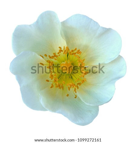 White  flower of a dogrose (wild rose) isolated on  white background. Close-up. Macro. Element of design. #1099272161
