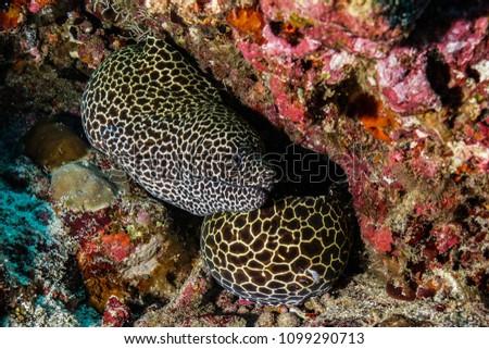 Eels at the Maldives #1099290713
