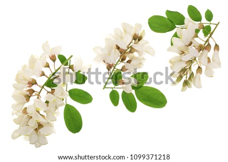 Blossoming acacia with leafs isolated on white background, Acacia flowers, Robinia pseudoacacia . White acacia #1099371218