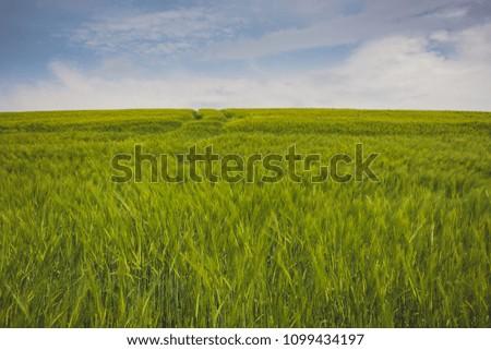 Field of wheat in the summer sun #1099434197
