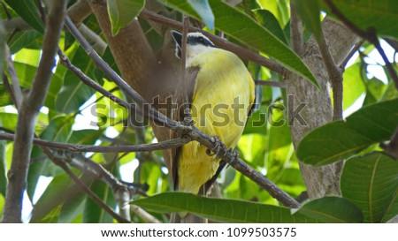 Great Kiskadee- Pitangus sulphuratus-Tyran quiquivi on a mango tree. #1099503575