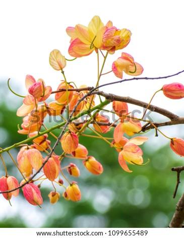 Cassia fistula/ Cassia bakeriana (or) Cassia fistula/Cassia javanica (Rainbow shower tree). Hybrid tropical flowers #1099655489