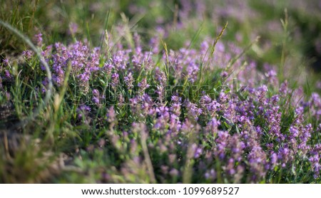 Thymus vulgaris known as Common Thyme, Garden thyme, variety with pale pink flowers #1099689527