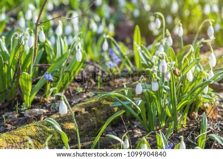 White blooming snowdrop folded or Galanthus plicatus. Spring sunny day in the forest. Close up, shallow depth of the field. #1099904840