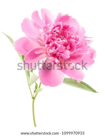 Peony flower isolated on white