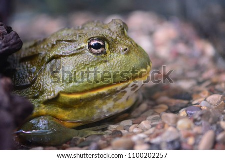 Green tropical frog #1100202257